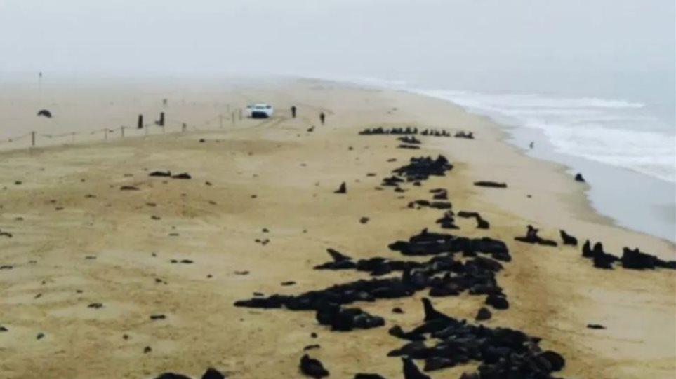 Μυστήριο στη Ναμίμπια: Πάνω από 5.000 μωρά φώκιας ξεβράστηκαν στις ακτές - Φωτογραφία 1