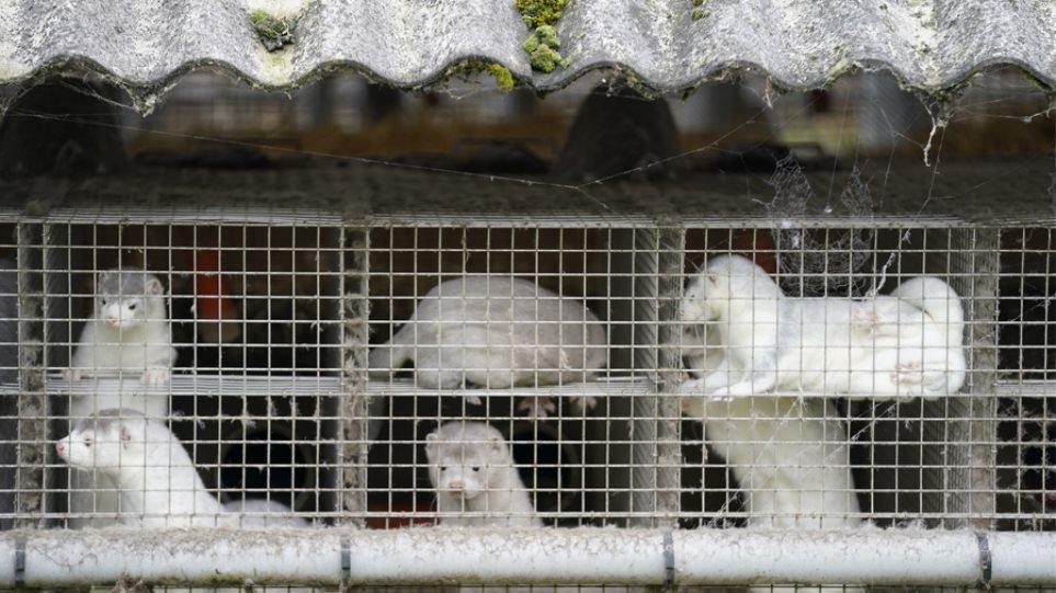 Ιρλανδία: Προς θανάτωση τα βιζόν εκτροφής λόγω μετάλλαξης του κορωνοϊού - Φωτογραφία 1