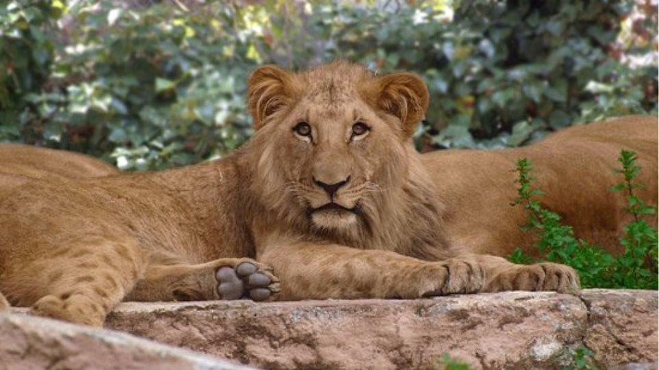 Θετικά τέσσερα λιοντάρια σε ζωολογικό κήπο της Βαρκελώνης - Φωτογραφία 1