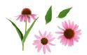 Η echinacea και η σχέση της με το κοινό κρυολόγημα και τις λοιμώξεις του ανώτερου αναπνευστικού
