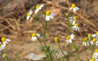 Χαμομήλι το θεραπευτικό – Ένα φυτικό φάρμακο του παρελθόντος με λαμπρό μέλλον - Φωτογραφία 1