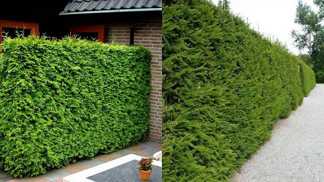 Διαμορφώσεις κήπου με Κωνοφόρα δέντρα - Φωτογραφία 11