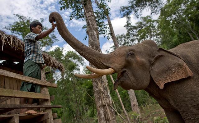 Χωρικοί στη Μιανμάρ απελευθέρωσαν με ζητωκραυγές παγιδευμένους ελέφαντες από λάκκο - Φωτογραφία 1