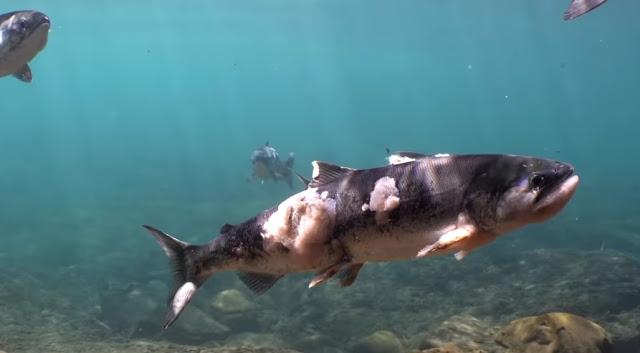 Σοκαριστικό: Σολομοί βράζουν ζωντανοί μέσα σε ποτάμι (Video)