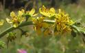 Αγριμόνιο, το βότανο που θεραπεύει όλες τις λοιμώξεις που εμμένουν!