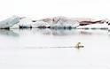 ΣΥΓΚΛΟΝΙΣΤΙΚΗ ΕΙΚΟΝΑ: Πολική αρκούδα μεταφέρει στην πλάτη το μικρό της - Φωτογραφία 2