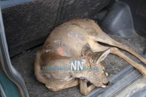 Τραυματισμένο ελαφάκι βρήκαν στην Άνω χώρα και το παρέδωσαν στο Δασαρχείο Ναυπάκτου [video] - Φωτογραφία 1