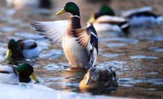 Η πάπια Πεκίνου εμπροσθοφυλακή στη μάχη κατά της γρίπης των πτηνών - Φωτογραφία 1