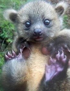 Μωρό Ολινγκίτο, μισό αρκουδάκι μισό γατάκι, κλέβει την παράσταση - Φωτογραφία 2