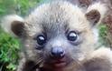 Μωρό Ολινγκίτο, μισό αρκουδάκι μισό γατάκι, κλέβει την παράσταση