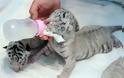 Φωτογραφίες από τις νεογέννητες τίγρεις - Φωτογραφία 2