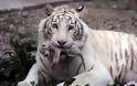 Φωτογραφίες από τις νεογέννητες τίγρεις - Φωτογραφία 3