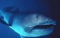 Καρχαρίας Megamouth: Ένα σπάνιο και τρομακτικό είδος - Κάτι τέτοιο δεν έχετε ξαναδεί... [photos] - Φωτογραφία 3