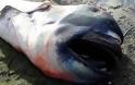 Καρχαρίας Megamouth: Ένα σπάνιο και τρομακτικό είδος - Κάτι τέτοιο δεν έχετε ξαναδεί... [photos] - Φωτογραφία 5