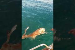 Ψαράς έσωσε ελάφι που βρέθηκε στη θάλασσα!