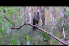 Πτηνό μιμείται ήχους για να δημιουργήσει το δικό του κελάηδισμα