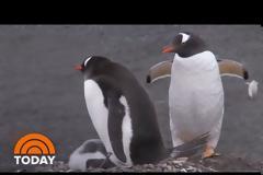 Δύο ομοφυλόφιλοι πιγκουίνοι κλωσσούν ένα αυγό σε ζωολογικό κήπο