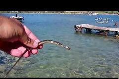 Ναύπλιο: Εντοπίστηκε σπάνιο ψάρι με την ονομασία «κατουρλίδα»