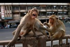 Απίθανο: Πίθηκοι έκλεψαν δείγματα αίματος ασθενών με κορωνοϊό στην Ινδία! (+vid)