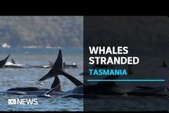 Μάχη για τη διάσωση δεκάδων φαλαινών που έχουν εξωκείλει στην Τασμανία - Απίστευτες εικόνες