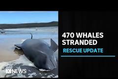 Τασμανία: 380 από τις 470 φάλαινες που εξώκειλαν είναι νεκρές!  ΒΙΝΤΕΟ