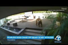 ΗΠΑ: Σκυλάκια κυνήγησαν αρκούδα που εισέβαλε στο σπίτι τους (Video)