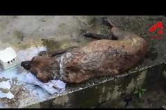 Σπαρακτικό: Μισοκαμένος σκύλος σπαρταράει σαν το ψάρι προσπαθώντας να κρατηθεί στη ζωή - Χίλια μπράβο στους διασώστες [video]